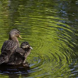 A pair of juvenile mallard ducklings by Yani Dubin - Animals Birds