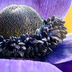 Purple with yellow by Johannes Oehl - Flowers Single Flower ( plant, shade of violet, pollen, purple, macro photography, anemone, bloom, stamen, flower, blossom, close-up,  )