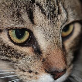 Jax by Paula Warren - Animals - Cats Portraits ( cat, kitty,  )