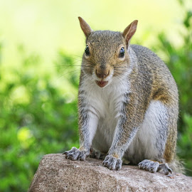 Sup? by Kathy Jean - Animals Other Mammals ( squirrel, mammal, grey squirrel, animal, looking at camera,  )