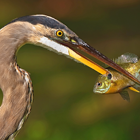 Spearfishing Heron by Herb Houghton - Animals Birds