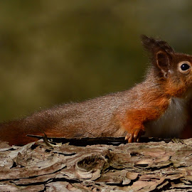 Red Squirrel by Pat Somers - Animals Other Mammals (  )