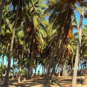 Coconut trees by Minami Kojima - Nature Up Close Trees & Bushes ( nature, mexico, coconut tree, photo )