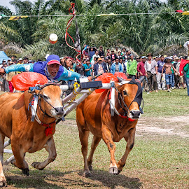 Karapan Sapi (Riding the Cow) by Agung Novriyandi - Sports & Fitness Other Sports ( indonesia, event, human interest, singkawang, culture )