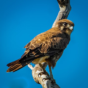 Falcon Brown Falcon by Trevor Smart - Animals Birds ( bellamack, bird, nt, australia, falcon, raptor, brown falcon,  )