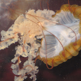 Jellyfish by Rebecca Oyer - Animals Sea Creatures (  )