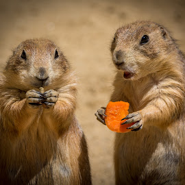 Two Vegans by Ed & Cindy Esposito - Animals Other Mammals ( prairie dogs, carrot, vegans, eating, couple )