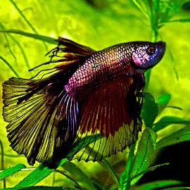 Betta by David Winchester - Animals Fish