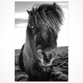 The icelandic horse by Bjarklind Þór - Animals Horses
