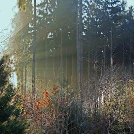 Rays by Petr Germanič - Landscapes Sunsets & Sunrises ( forest, sunrise, rays )