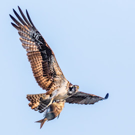 Osprey with Scup by Carl Albro - Animals Birds ( flying, fish, hawks and eagles, osprey )