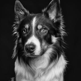 Suspicion by Karen Havenaar - Animals - Dogs Portraits ( studio, border collie, black and white, adorable, cute, dog, posing, domestic )