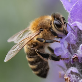 Lavender Bee by Kathryn Potempski - Animals Insects & Spiders ( macro, bee, wings, lavender, insect, photography, flower, closeup, animal )