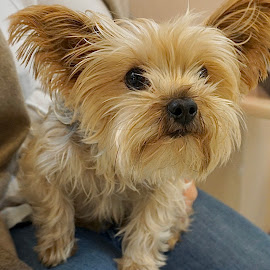 Ready Ricky by Barbara Brock - Animals - Dogs Puppies ( cute dog, small dog, tiny dog, canine, dog, pet, toy breed )