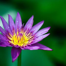 Flower In The Pond by Steven De Siow - Flowers Single Flower ( flower up close, flower nature, flower closeup, flower photography, flower )