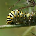 Eastern Black Swallowtail (caterpillar)
