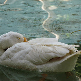 Sleeping duck  by Ritika Mehra - Animals Other