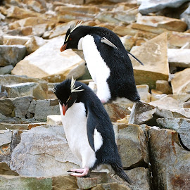 Rockhopper penguins  by Janet Rose - Novices Only Wildlife