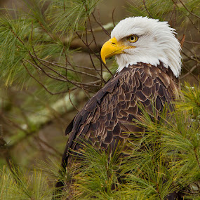 by Herb Houghton - Animals Birds ( wild, bird of prey, eagle, bald eagle, raptor, herbhoughton.com, natural, non captive )