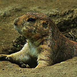 Peek by Kristin Patota - Animals Other Mammals ( prairie dog )