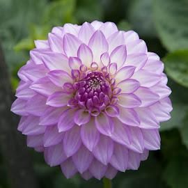 Purple by Janet Marsh - Flowers Single Flower ( dahlias, purple and white,  )