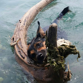 Diesel catches tree trout by Anthony Carlo - Animals - Dogs Playing