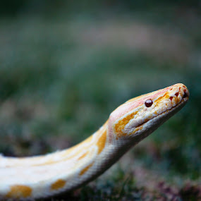 I watching you!! by Cristobal Garciaferro Rubio - Animals Reptiles ( python, snake, grass, bokeh )