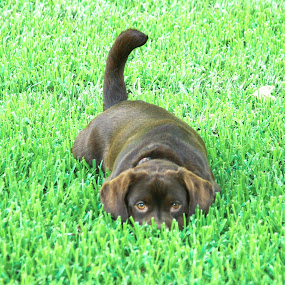 Invisible by Kirk Barnes - Animals - Dogs Playing ( murphy, grass, chocolate lab, playing, dog,  )