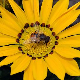 yellow gazania by LADOCKi Elvira - Flowers Single Flower ( flowers )