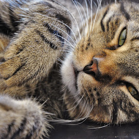 Sleepy Baby. by Viana Santoni-Oliver - Animals - Cats Portraits ( dsh, laying down, cat, pet, domestic shorthair, sleeping, closeup, portrait, mammal, animal )