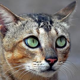 Cat men by AbngFaisal Ami - Animals - Cats Portraits