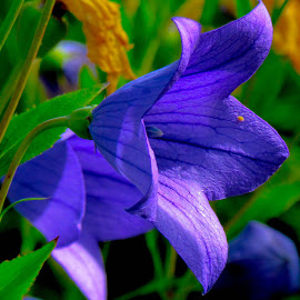 Blu by Marina Dossi - Flowers Flowers in the Wild ( blu, color, flower )