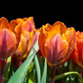 Orange Tulips by Vijay Govender - Flowers Flower Gardens ( gardens, tulips, flowers )