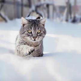 Snow panther by Nicoleta Gradinaru - Animals - Cats Portraits ( cat, winter, tomcat, snow )