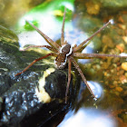 Fishing or Water Spider (male)