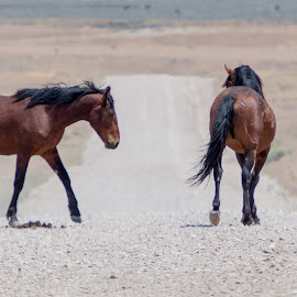 Two Young Studs by Susan Ward - Animals Horses ( studs, onaqui mountains, horses, mustangs, wild horses )