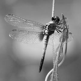 Dragonfly  by Asif Bora - Black & White Animals