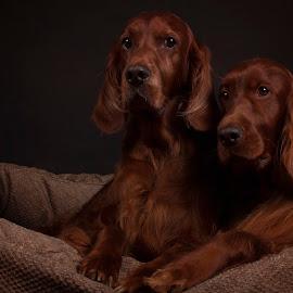 The Boy's by Ken Jarvis - Animals - Dogs Portraits ( studio, dogs, irish setter, dog portrait, irish )