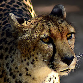 Cheetah by Shawn Thomas - Animals Lions, Tigers & Big Cats