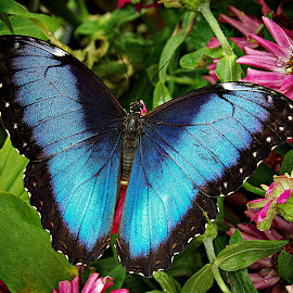 Blue Morpho~ by Karen McKenzie McAdoo - Animals Insects & Spiders (  )