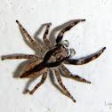 Grey Wall Jumping Spider