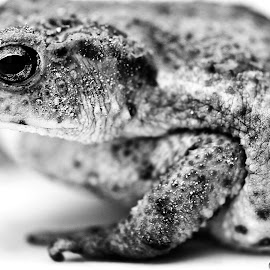 by Alessandro Calzolaro - Animals Amphibians ( nature, bufo, toad, close up, animal )
