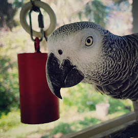 Greybaby by Anne LiConti - Uncategorized All Uncategorized ( #phonephoto, #animals, #mobilephoto, #africangreyparrots, mobilephotography, #phonephotography, #android )
