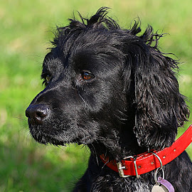 Dusty by Chrissie Barrow - Animals - Dogs Portraits ( red, ear, female, cocker spaniel, pet, collar, fur, nose, black, portrait, eye )