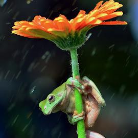 by Ajar Setiadi - Animals Amphibians