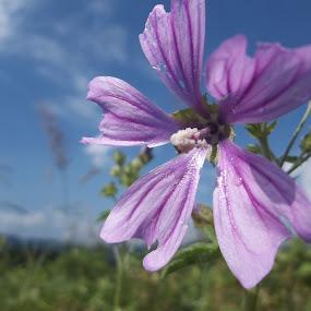 Цвете by Georgi Kolev - Flowers Flowers in the Wild ( облаци., небе., треви., цвете., поляна. )