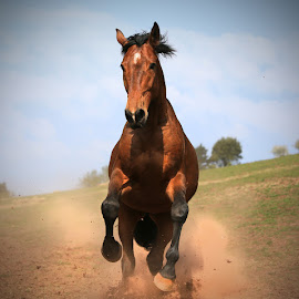 Please Stop!! by Dave Roberts - Animals Horses ( horse gallop,  )