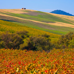 Red field  by Gale Perry - Landscapes Prairies, Meadows & Fields ( field, hills, red, trees, grapevines,  )