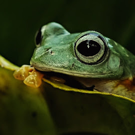 Mengintip by Arie Azdhana - Animals Amphibians
