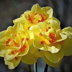 My daffodils from the garden by Mary Gallo - Flowers Flower Gardens ( yellow/orange daffodils., nature, nature up close, garden, flower garden, daffodils, flower )